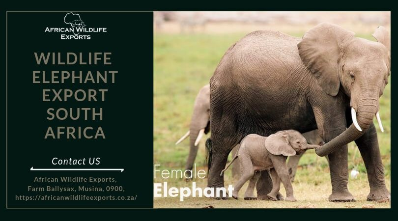 Get the wildlife exporter for wildlife elephant export South Africa