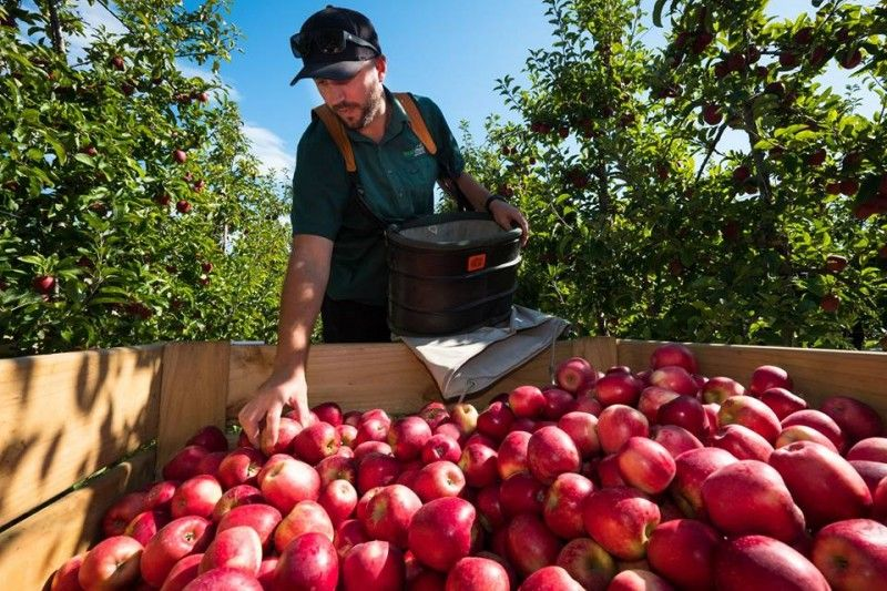 Want to Have Red Delicious Apple of New Zealand?