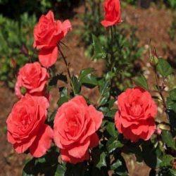 Rose Plants - Rose Plants Suppliers, Rose Plants Wholesalers & Exporters in Jabalpur